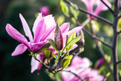 Цветение дерева магнолии Красивый розовый цветок магнолии на естественной абстрактной мягкой флористической предпосылке Цветки ве Стоковое фото RF