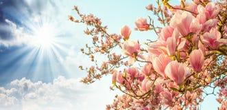 Цветение дерева магнолии с цветастым небом на предпосылке Стоковые Фотографии RF