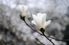 Цветение дерева магнолии Стоковое Фото