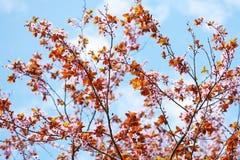 Цветение дерева Сакуры Стоковое фото RF