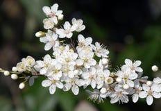 Цветение дерева Стоковые Изображения