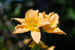 Цветение лета свежего апельсина lilly Стоковые Изображения RF