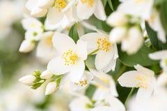 Цветение жасмина Стоковая Фотография