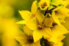 Цветение желтых цветков Стоковая Фотография