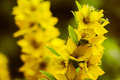 Цветение желтых цветков Стоковое Изображение RF