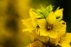 Цветение желтых цветков Стоковые Изображения RF