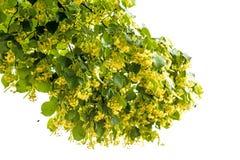 цветение Известк-дерева Стоковое Фото