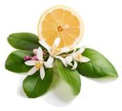 Цветение лимона и половина плодоовощ лимона Стоковое Изображение