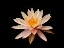 Цветение лилии воды Стоковое Изображение