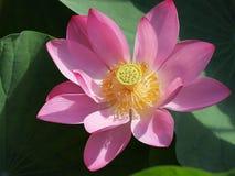 Цветение лилии воды Стоковое Изображение RF
