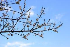Цветение и небо сливы Стоковые Фотографии RF
