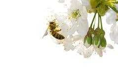 Цветение и пчела вишни стоковое фото