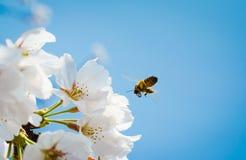 Цветение и пчела вишни Стоковое Изображение