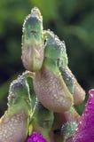 Цветение и роса сладостного гороха Стоковое фото RF