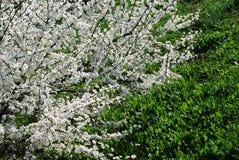 Цветение кавказской сливы белое и предпосылка зеленой травы Стоковые Фотографии RF
