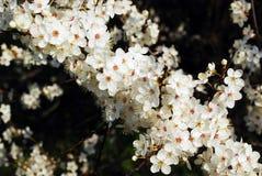 Цветение кавказской сливы белое и предпосылка зеленой травы Стоковое Изображение RF