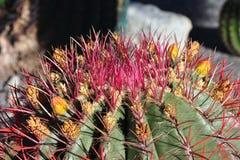 Цветение кактуса Стоковое Фото