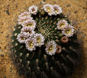 Цветение кактуса Стоковые Изображения