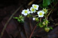 Цветение клубники Стоковое фото RF