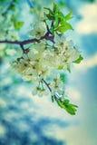 Цветение конца вишневого дерева вверх по флористической предпосылке Стоковая Фотография RF