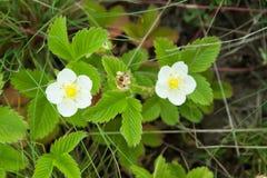 Цветение конца клубники вверх в природе Стоковое Фото