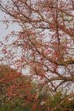Цветение красного дерева Silk хлопка Стоковые Изображения RF