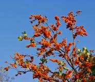 Цветение красного дерева Silk хлопка Стоковые Изображения