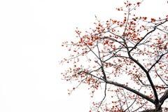 Цветение красного дерева Silk хлопка Стоковые Фотографии RF
