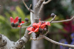 Цветение красного дерева Silk хлопка Стоковое фото RF