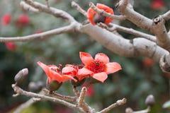 Цветение красного дерева Silk хлопка Стоковое Изображение