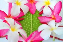 Цветение, красный цвет и белизна цветков Plumeria Стоковые Изображения