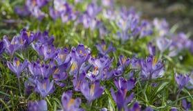 Цветение крокуса на холме Стоковая Фотография