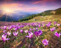 Цветение крокусов на весне в горах стоковое фото rf