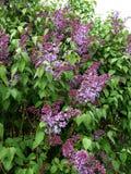 Цветение кустов сирени весной Стоковые Фото