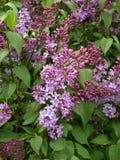 Цветение кустов сирени весной Стоковые Изображения RF