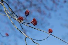 Цветение клена против голубого неба Стоковые Фото