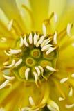 цветение лотоса стоковые фотографии rf
