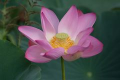 Цветение лотоса Стоковое фото RF