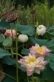 Цветение лотоса Стоковое Изображение RF