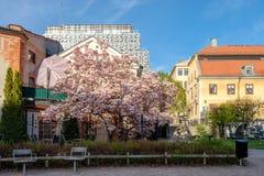 Цветение магнолии во время весны в Norrköping, Швеции стоковое фото