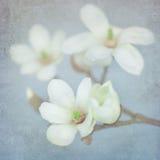 Цветение магнолии на ветви Стоковые Фото