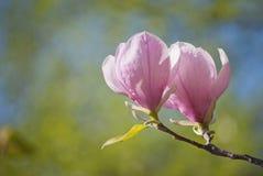 Цветение магнолии Стоковые Фото