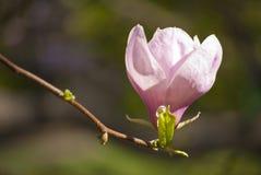 Цветение магнолии Стоковая Фотография