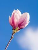 Цветение магнолии Стоковая Фотография RF