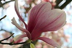 Цветение магнолии Стоковое Изображение