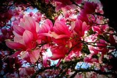 Цветение магнолии Стоковое Фото