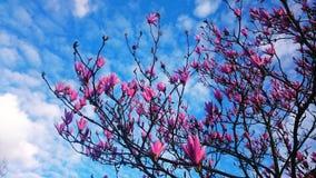 Цветение магнолии Стоковые Изображения