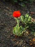 Цветение маков цветков красное на одичалом поле Маки красивого поля красные с селективным фокусом Красные маки вниз солнечного св Стоковая Фотография RF