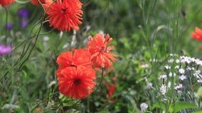 Цветение маков цветков красное на одичалом поле Маки красивого поля красные с селективным фокусом Мягкий свет видеоматериал