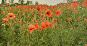Цветение маков цветков красное на одичалом поле Стоковые Фото